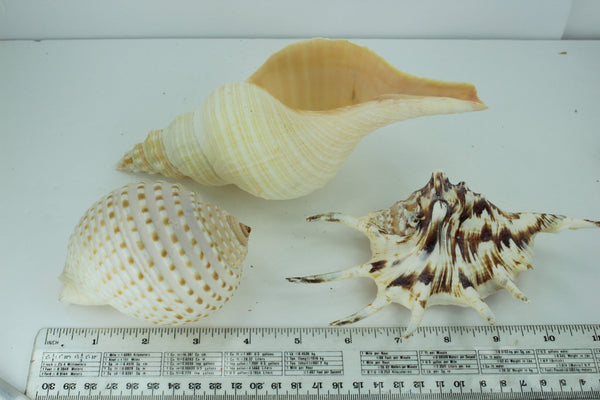 Florida Natural Shells 3 Vintage Conch Spider Tun Estate Collection Shell Art Collectibles Aquarium