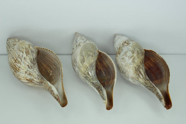"Florida Natural Shells 3 Large 5"" Tulips Estate Collection Crafts Shell Art Collectibles"