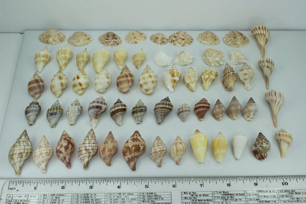 Florida Natural Shells 57 Mini Small Tulips Calico Whelks Wedding Jewelry Shell Art