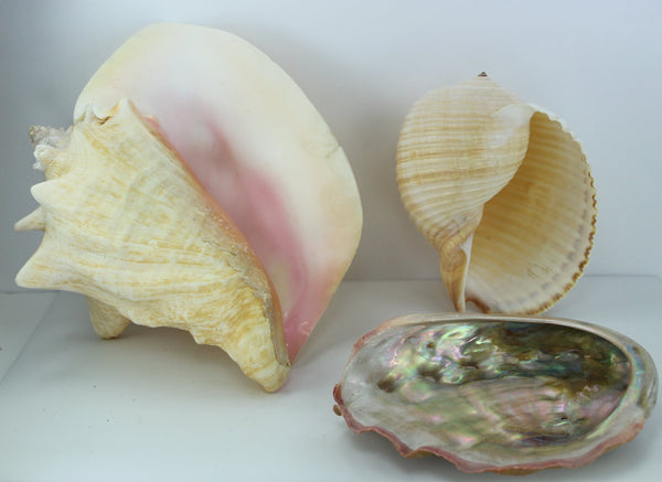 "Florida Natural Shells 3 Large 8"" Pink Conch Tun Abalone Aquarium Shell Art Collectibles"