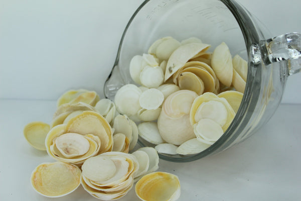 Florida Natural Shells Buttercup Lucines Bulk 4 Cups Crafts Jewelry Shell Art bulk shells