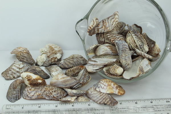 Florida Natural Shells Turkey Wings Uncleaned Bulk 4 Cups Crafts Jewelry Shell Art all sizes