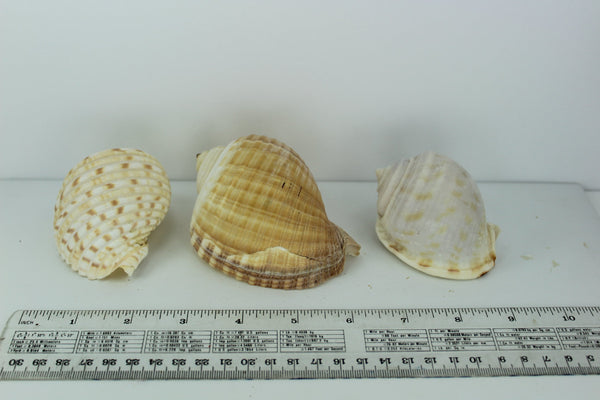 Florida 3 Shells Vintage Tuns Bonnet Estate Collection Shell Art Collectibles Wreaths Aquarium