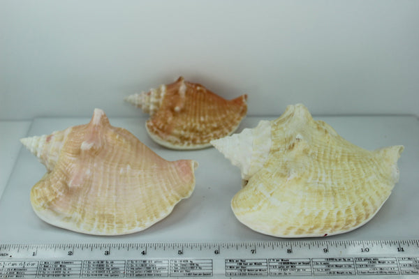 Florida Shells 3 Vintage Conchs Estate Collection Shell Art Collectibles Wreaths Aquarium