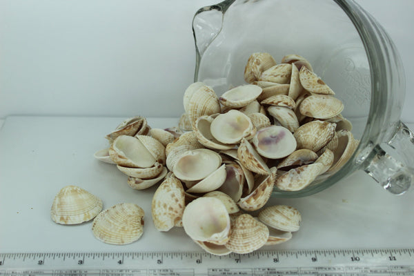 Florida Natural Shells Bulk 4 Cups Venus Lady In Waiting Jewelry Shell Art