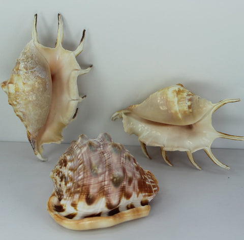 "Florida 3 Natural Shells 5 12"" 6"" Spiders 4"" Bonnet Vintage Estate Collection Shell Art Collectible"