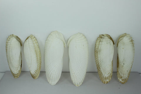 "Wing Shells 5"" 4 1/2"" Vintage Estate Collection Shell Art Collectibles Wreaths"
