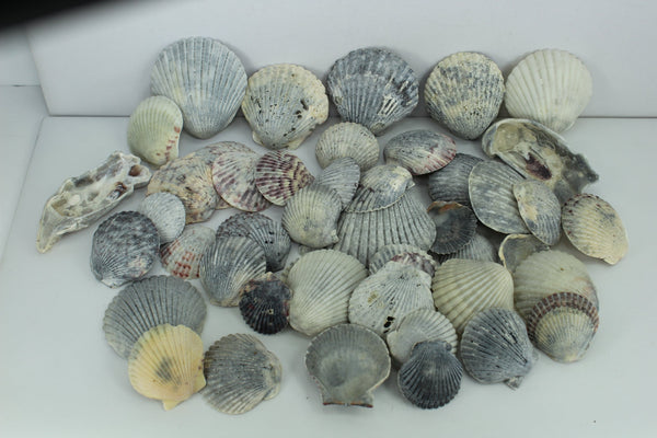 50 Grey Scallop Shells 2 Oyster Shells Nature Marked Crafts Wreath Mirror Jewelry Beach Decor