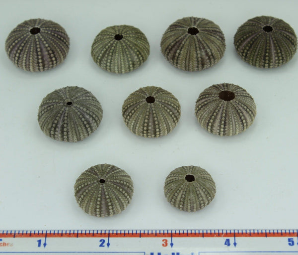 Florida Natural Baby Sea Urchins Estate Collection 1960s 70s Jewelry Shell Art Collectibles unusual
