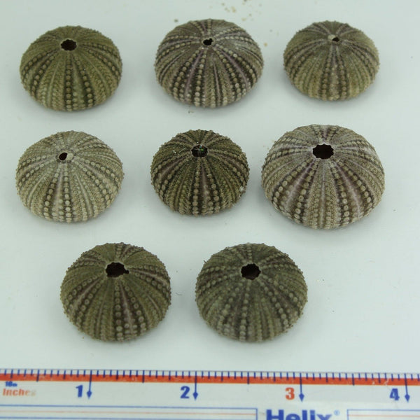 Florida Natural 8 Baby Sea Urchins Estate Collection Jewelry Shell Art Collectibles small