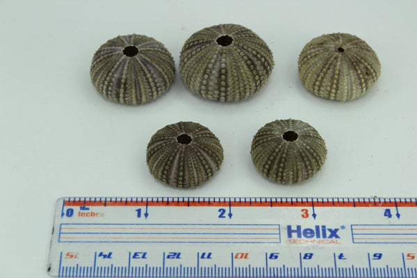 Florida Natural 5 Baby Sea Urchins Estate Collection Jewelry Shell Art Collectibles small