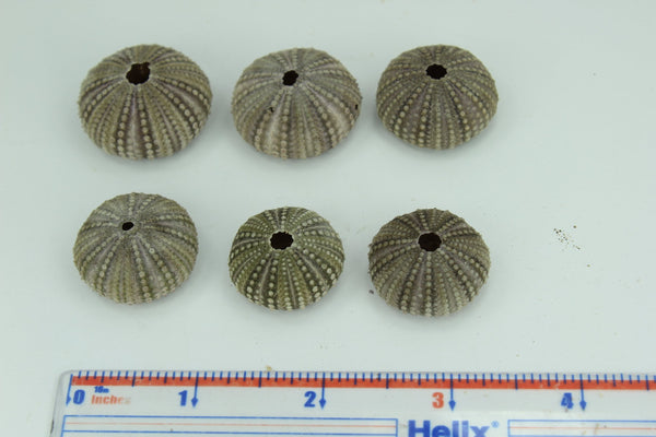 Florida Natural 6 Baby Sea Urchins Estate Collection Jewelry Shell Art Collectibles