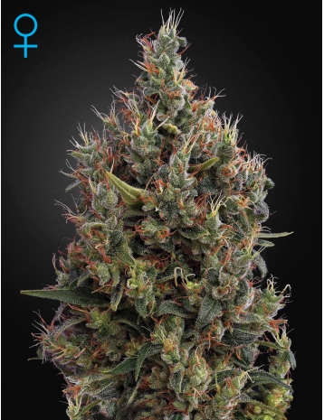 Big Bang Auto Feminised Seeds are a combination of Skunk, Northern Light, El Nino and Ruderalis from Green House Seed Co. This strong and explosive Indica strain is considered an excellent choice for a beginner due to its low maintenance, fast growth and respectable yield.