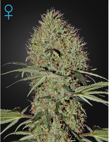 By taking the amazingly strong, fast-acting and full-body hitting Super Bud and crossing it with Ruderalis, the genius minds at Green House Seed Co. have generated yet another high-quality auto-flowering remix of a strain that will not disappoint fans of the original.