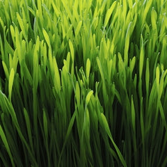 The Fountain of Juice All-Natural Ingredients Wheatgrass