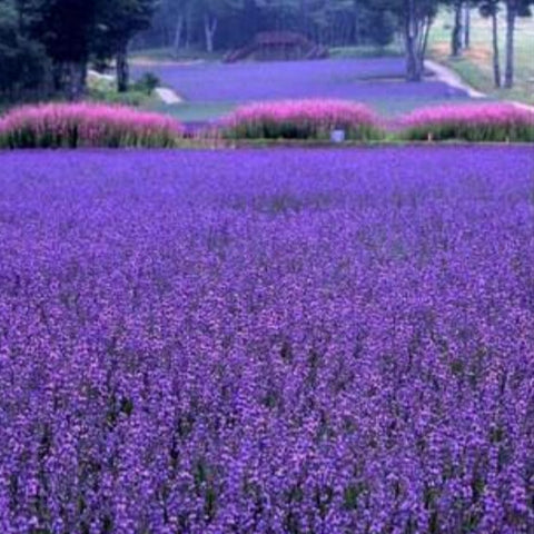 French Provence Lavender Seeds Very Fragrant Organic Flowering Plants 400Pcs/bag