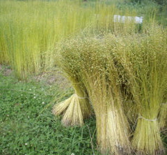 Flax stems during harvest