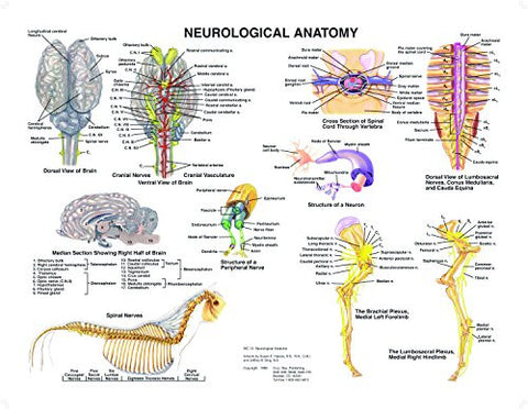 Equine Neurological Anatomy Chart