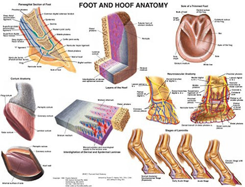 Foot and Hoof Equine Anatomy Wall Chart