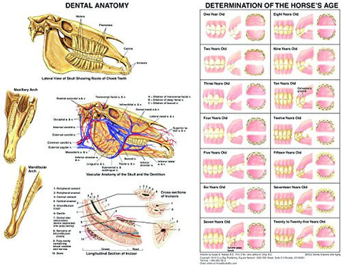Equine Dental Anatomy and Aging Chart