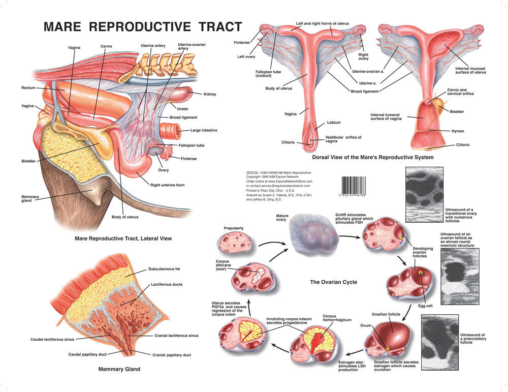 Mare Reproductive Tract Chart – Equine Network Store