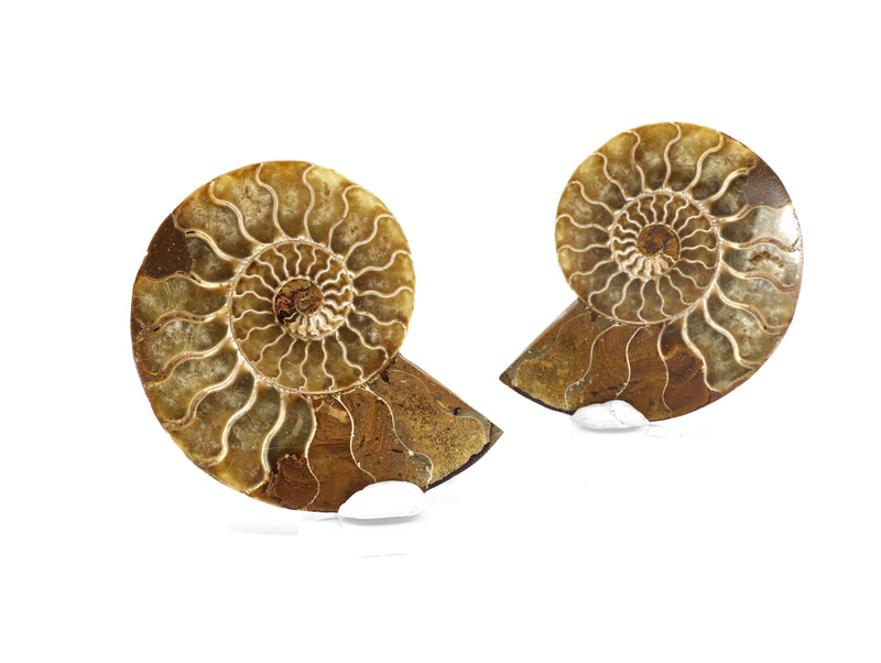 Ammonite set