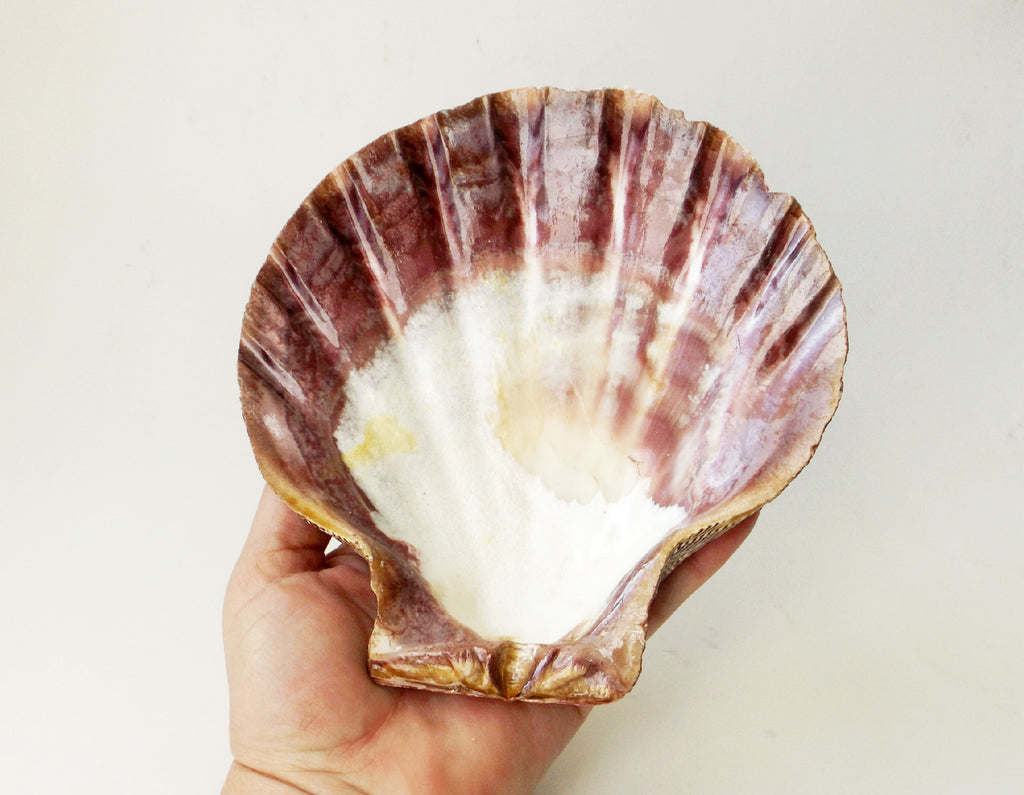 Lion Paw shell - Esoteric Aroma