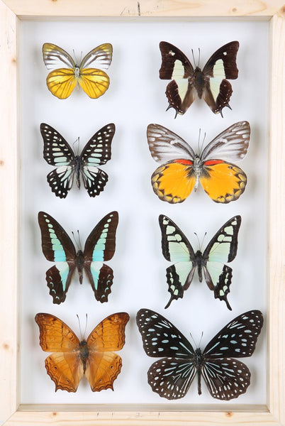 How To Start Pinning Butterflies and Insects