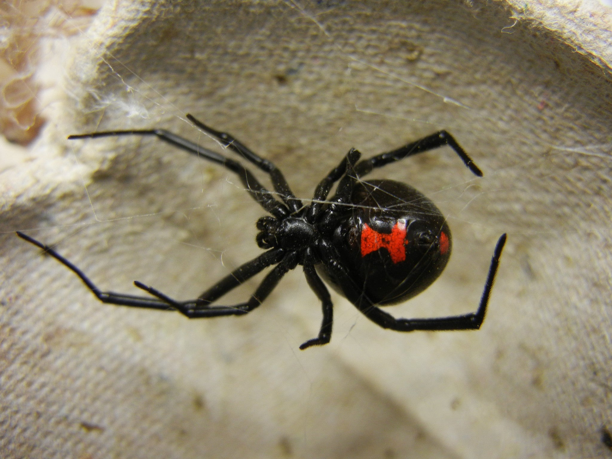 There Is A Reason They Are Called Black Widows