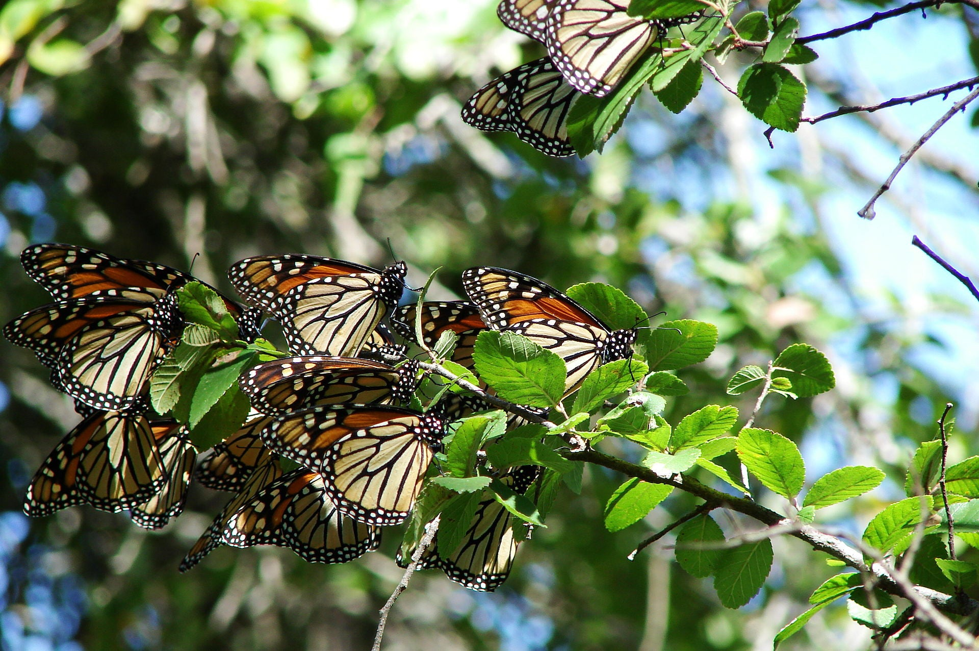 Is Butterfly Migration Common?