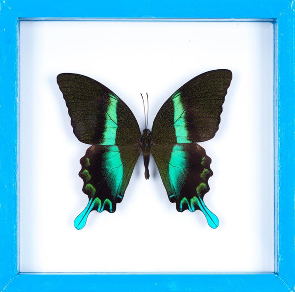 THE GREEN SWALLOWTAIL BUTTERFLY (PAPILIO BLUMEI) BUTTERFLY TAXIDERMY | SEE THROUGH GLASS FRAME