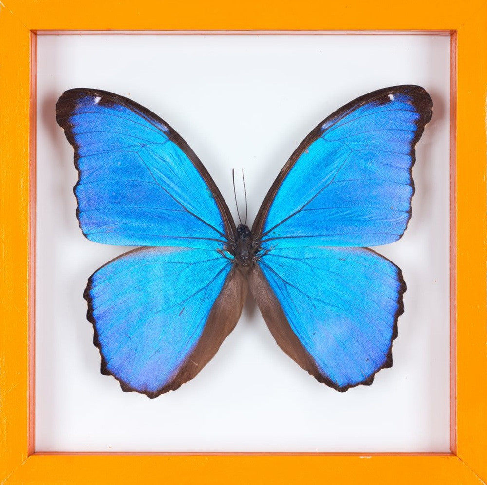 THE GIANT BLUE MORPHO BUTTERFLY FRAME (MORPHO DIDIUS) BUTTERFLY TAXIDERMY | SEE THROUGH GLASS FRAME