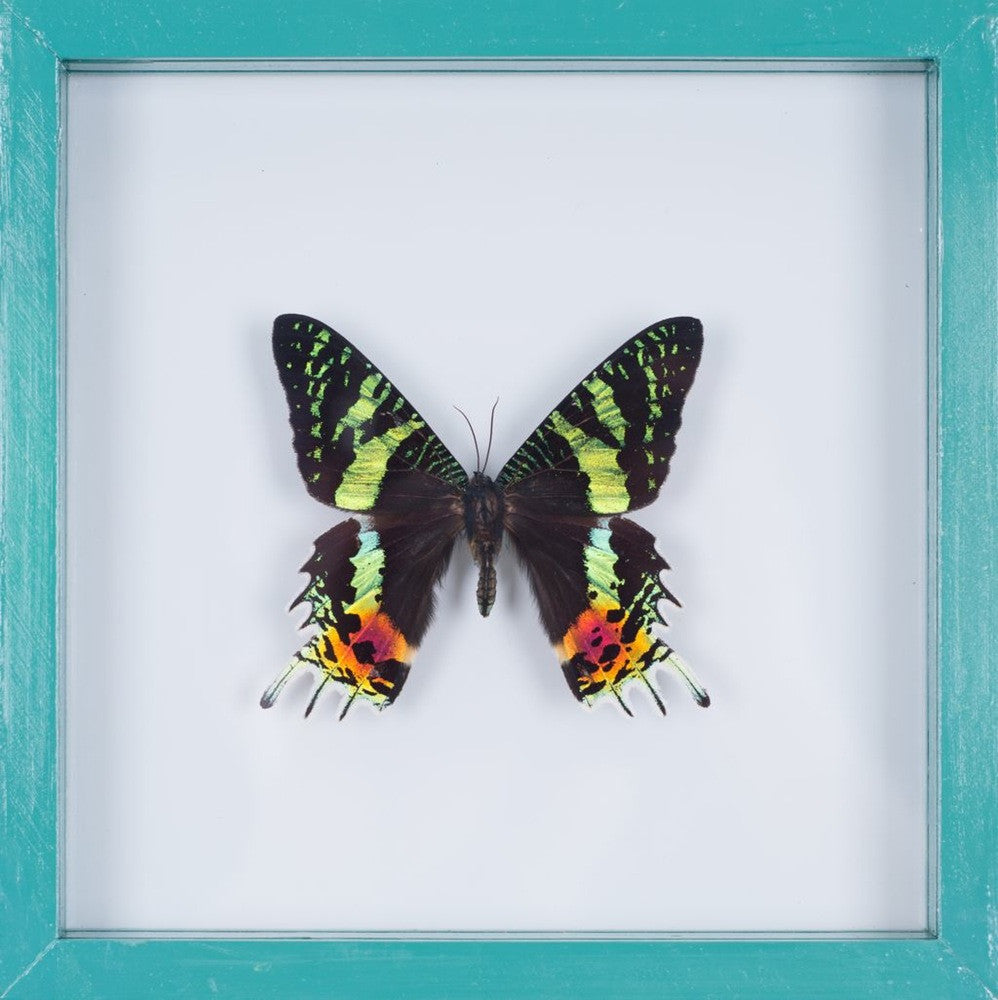 THE MADAGASCAN SUNSET MOTH (C. MADAGASCARIENSIS) BUTTERFLY TAXIDERMY | SEE THROUGH GLASS FRAME