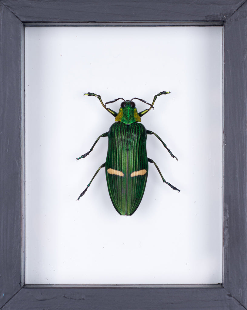 THE JEWEL BEETLE TAXIDERMY (CATOXANTHA OPULENTS) DOUBLE GLASS FRAME