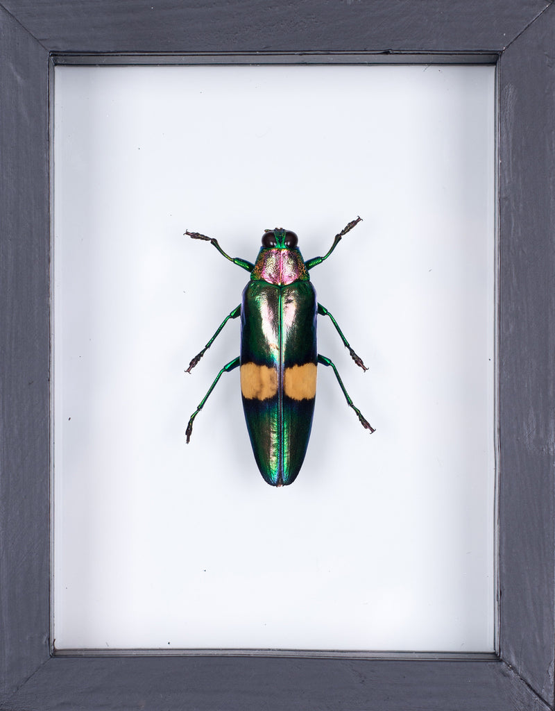 THE METALLIC JEWEL BEETLE TAXIDERMY (CHRYSOCHROA FULGENS) DOUBLE GLASS FRAME