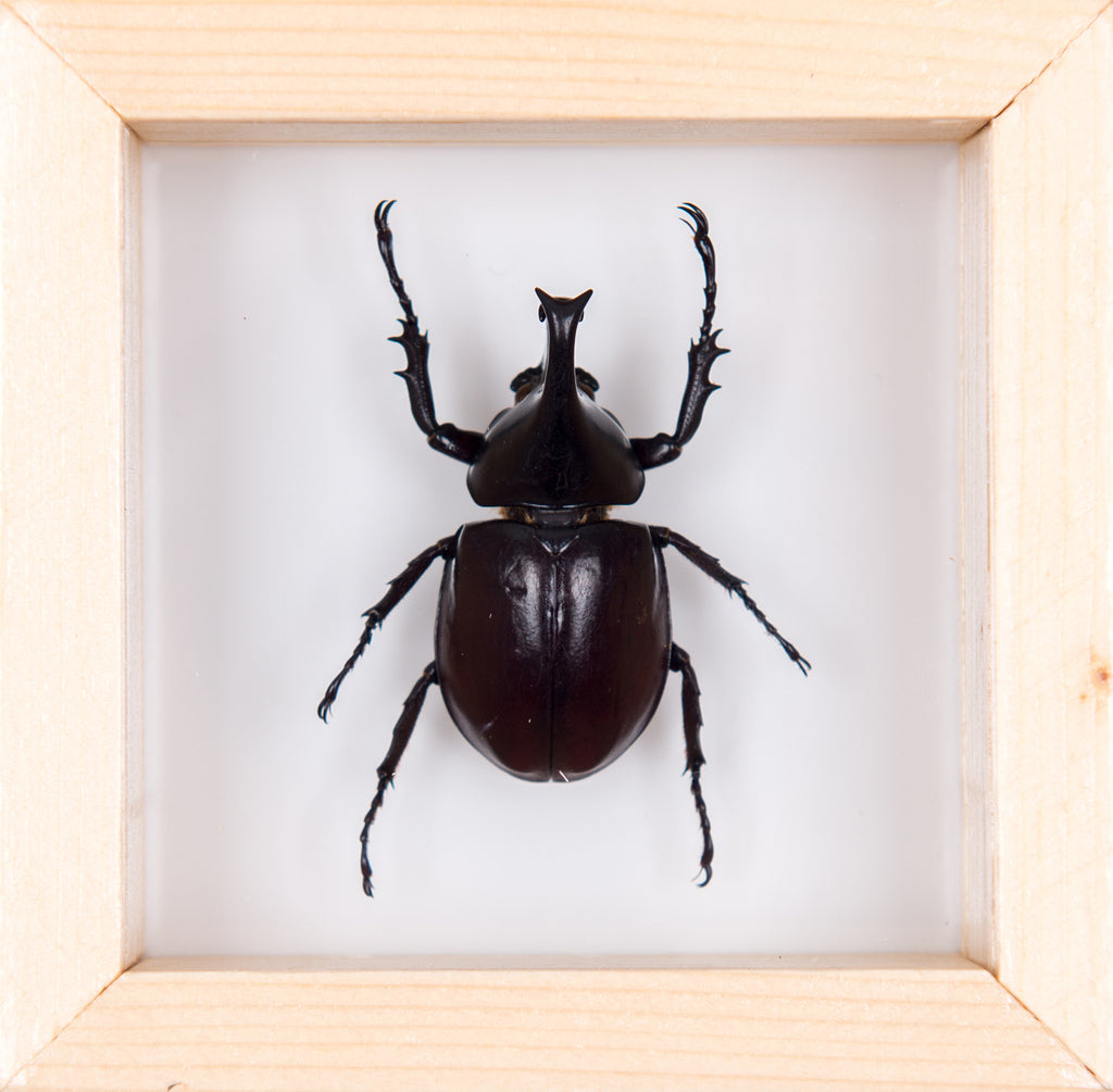 DOUBLE GLASS RHINO BEETLE FRAME 100x100mm