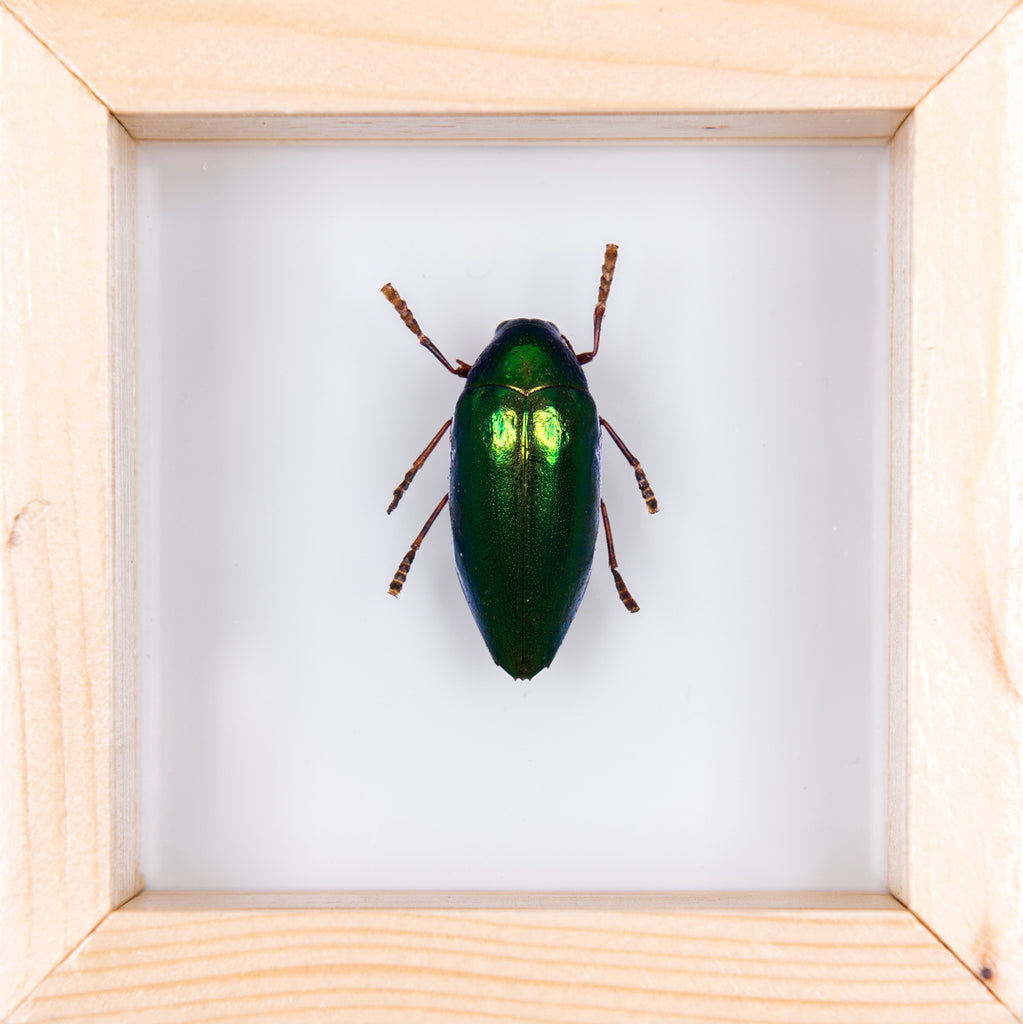 DOUBLE GLASS JEWEL BEETLE FRAME No.2 100x100mm
