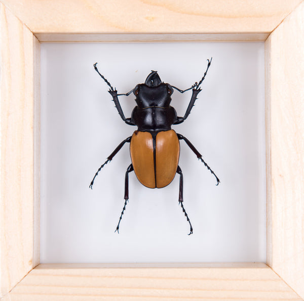 DOUBLE GLASS ORANGE STAG BEETLE FRAME 100x100mm