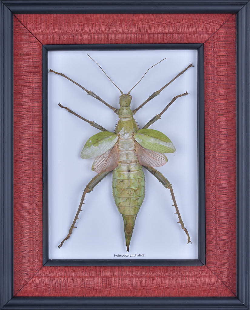 Exotic Framed Jungle Nymph - Mulberry Silk Lining