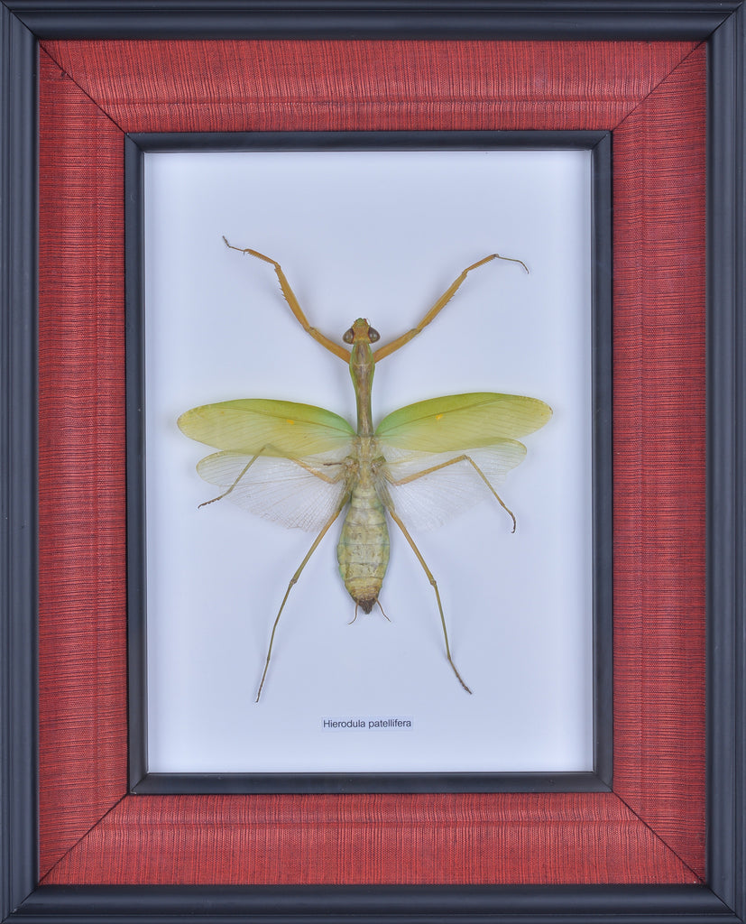 HAND CRAFTED FRAMED PRAYING MANTIS DISPLAY