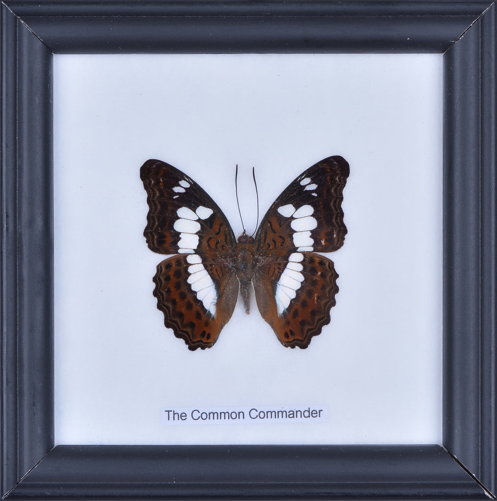 THE COMMON COMMANDER BUTTERFLY - COTTON MOUNTED BUTTERFLY TAXIDERMY 12X12CM FRAME