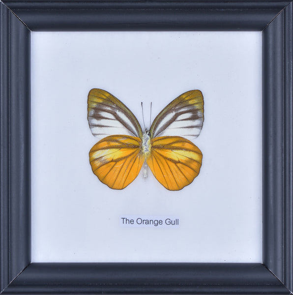 THE ORANGE GULL BUTTERFLY - COTTON MOUNTED BUTTERFLY TAXIDERMY 12X12CM FRAME