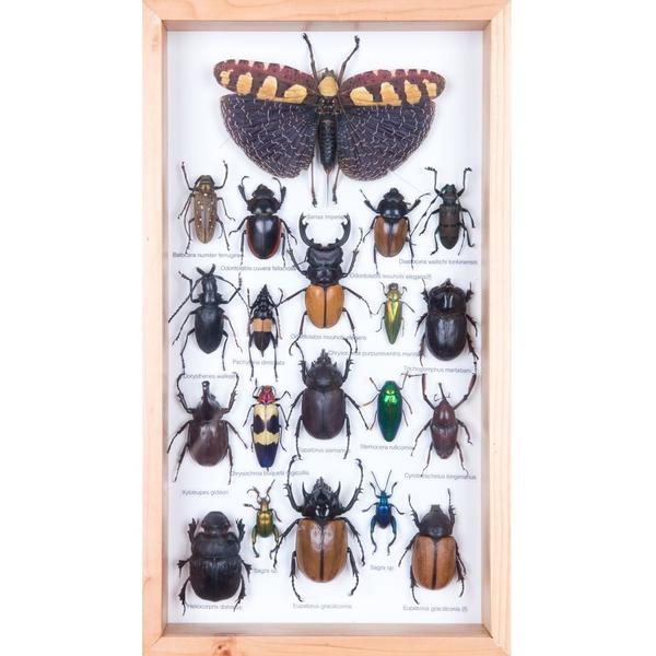 MOUNTED TROPICAL INSECTS | ENTOMOLOGY COLLECTION | FRAMED TAXIDERMY