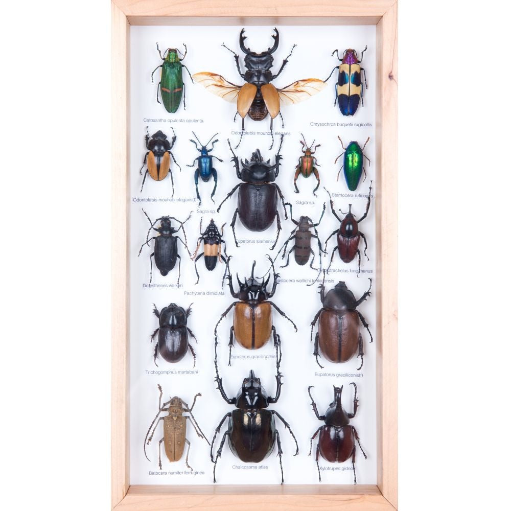 MOUNTED TROPICAL INSECTS | ENTOMOLOGY COLLECTION | FRAMED TAXIDERMY NO.17.7