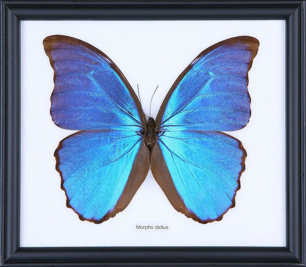 THE GIANT BLUE MORPHO BUTTERFLY (MORPHO DIDIUS) COTTON MOUNTED BUTTERFLY FRAME