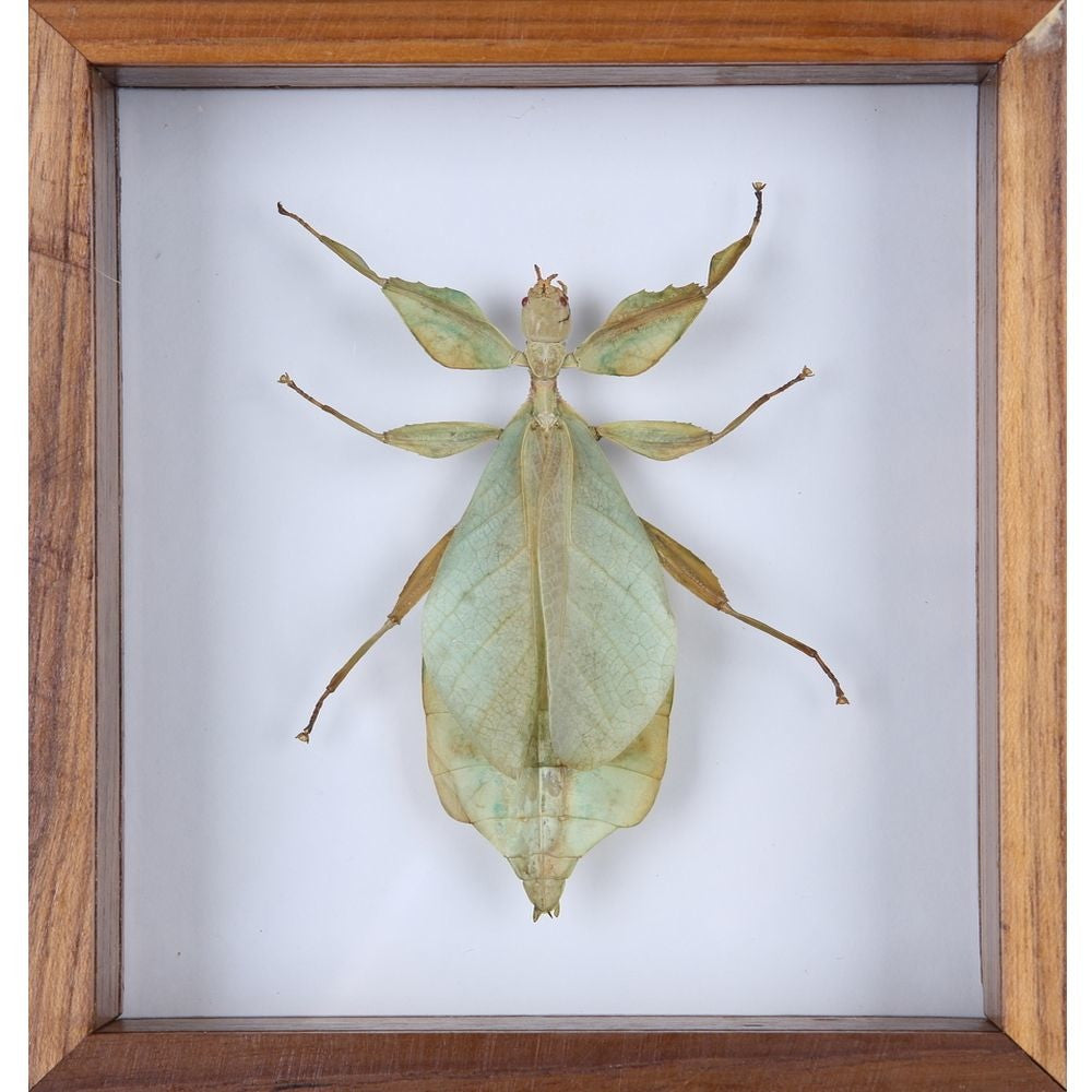 THE WALKING-LEAF INSECT (PHYLLIUM BIOCULATUM) FRAME