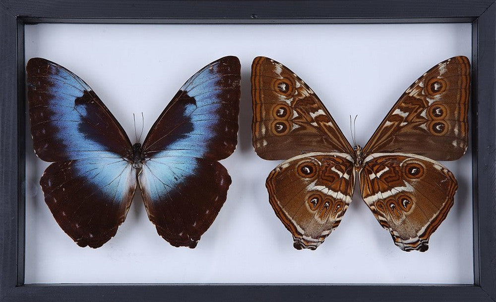 THE CISSEIS MORPHO BUTTERFLY TWIN SET - HORIZONTAL WOODEN FRAME TAXIDERMY REAL SPECIMENS