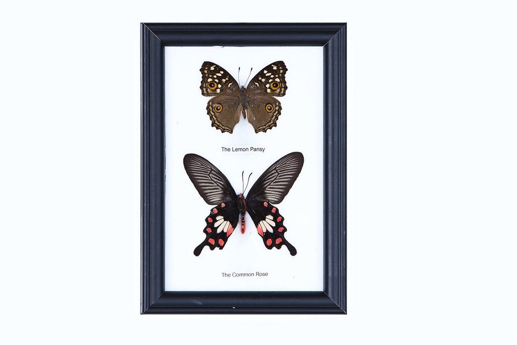 TWO MOUNTED BUTTERFLIES (ASSORTED SPECIES) COTTON MOUNTED