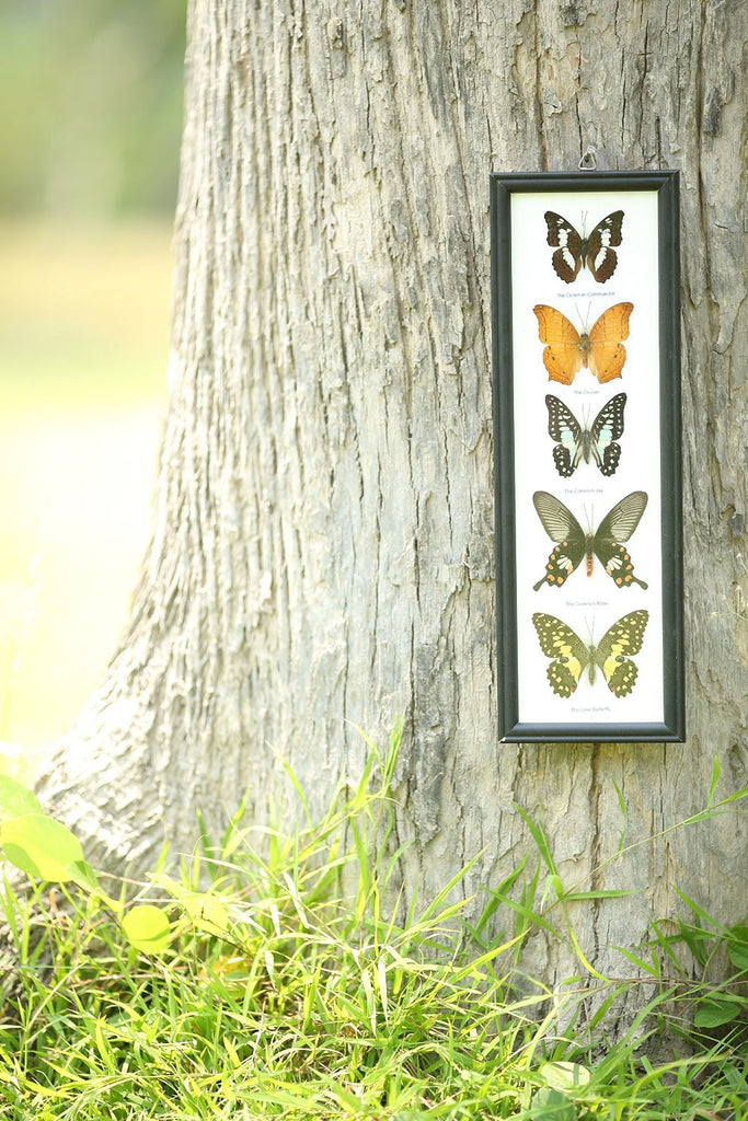 FIVE TAXIDERMY BUTTERFLIES, TALL FRAMED ASSORTED BUTTERFLIES