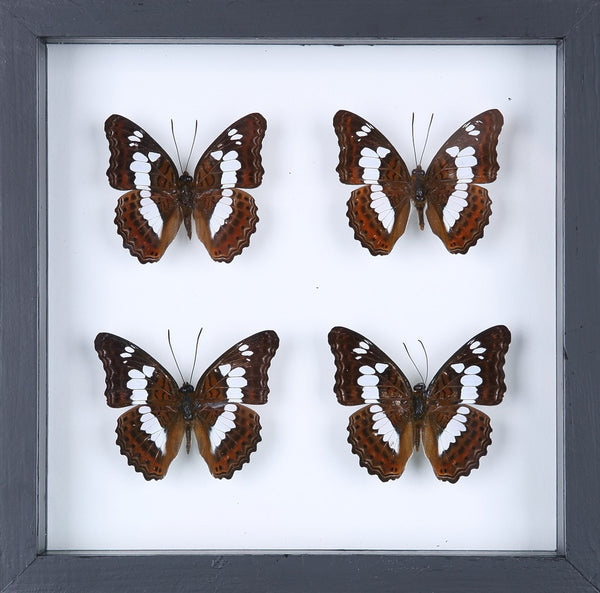 BUTTERFLY COLLECTION | FRAMED REAL BUTTERFLIES UK-13-1805